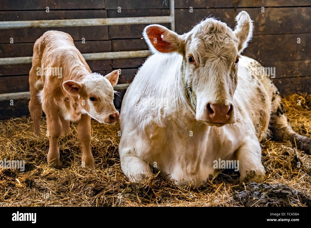 Newborn calf with mother cow in a barn in Sweden. - Stock Image