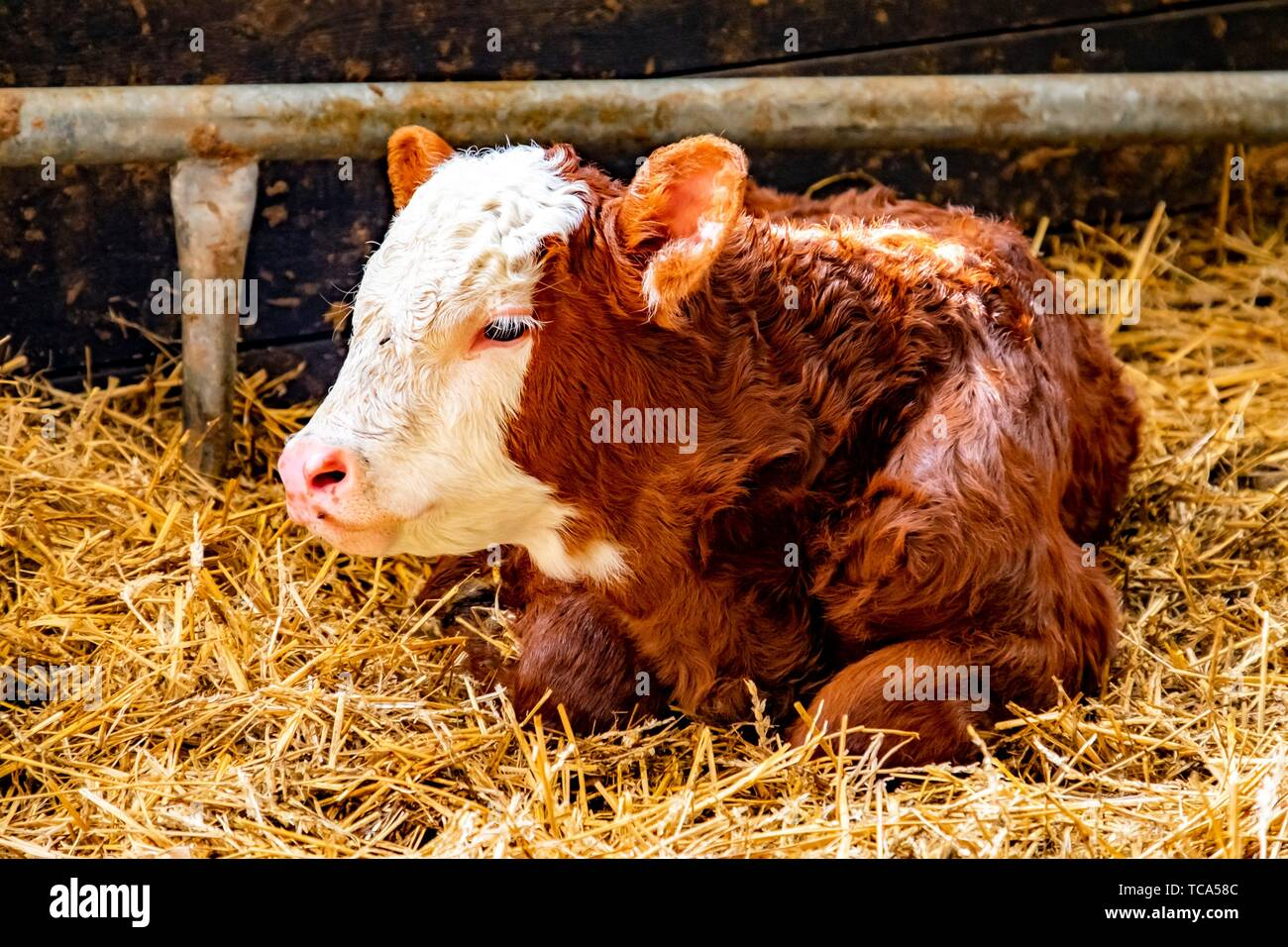 Newborn calf in a barn in Sweden. - Stock Image