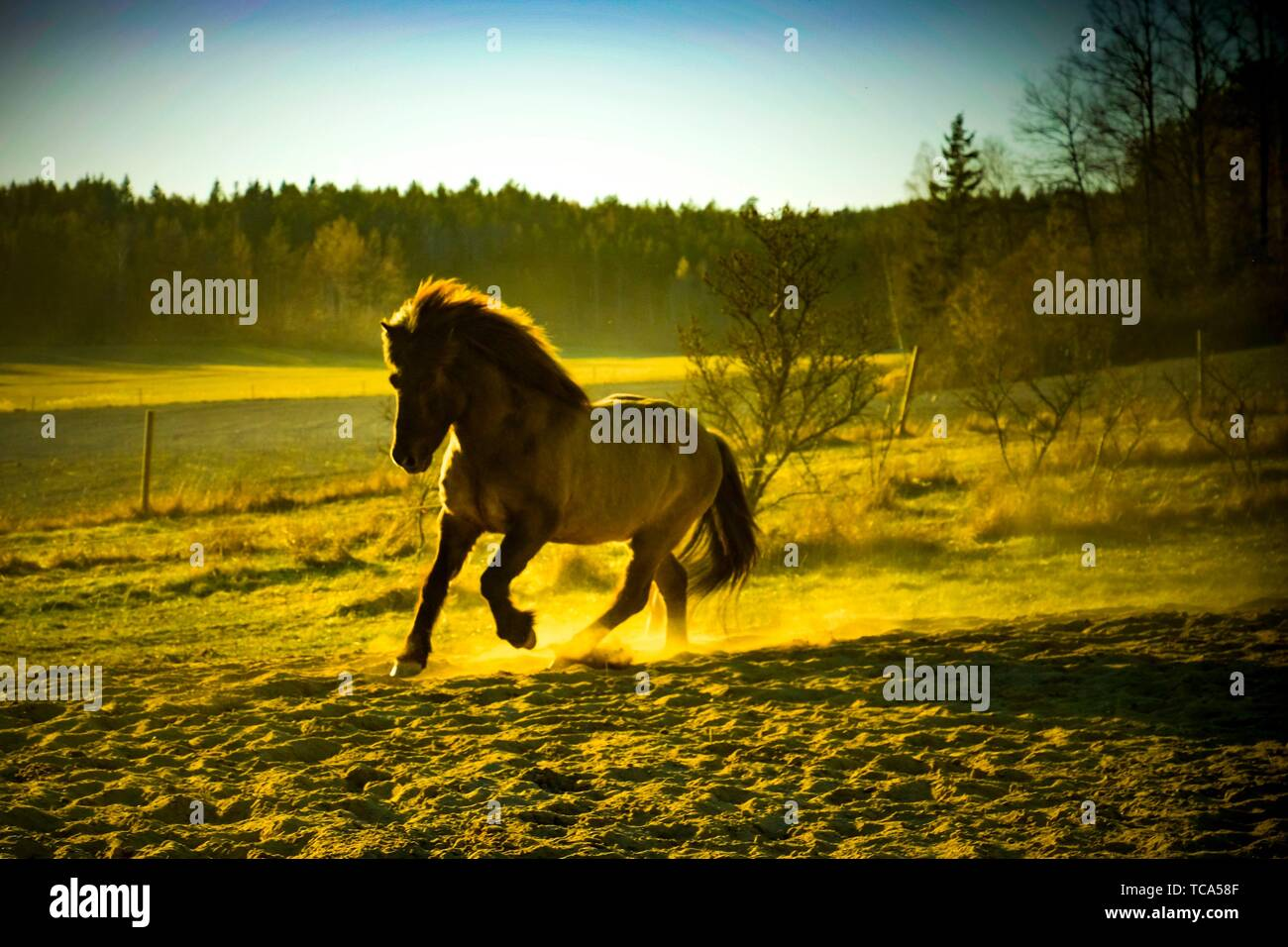 Galloping horse on the cuntryside of Sweden. - Stock Image