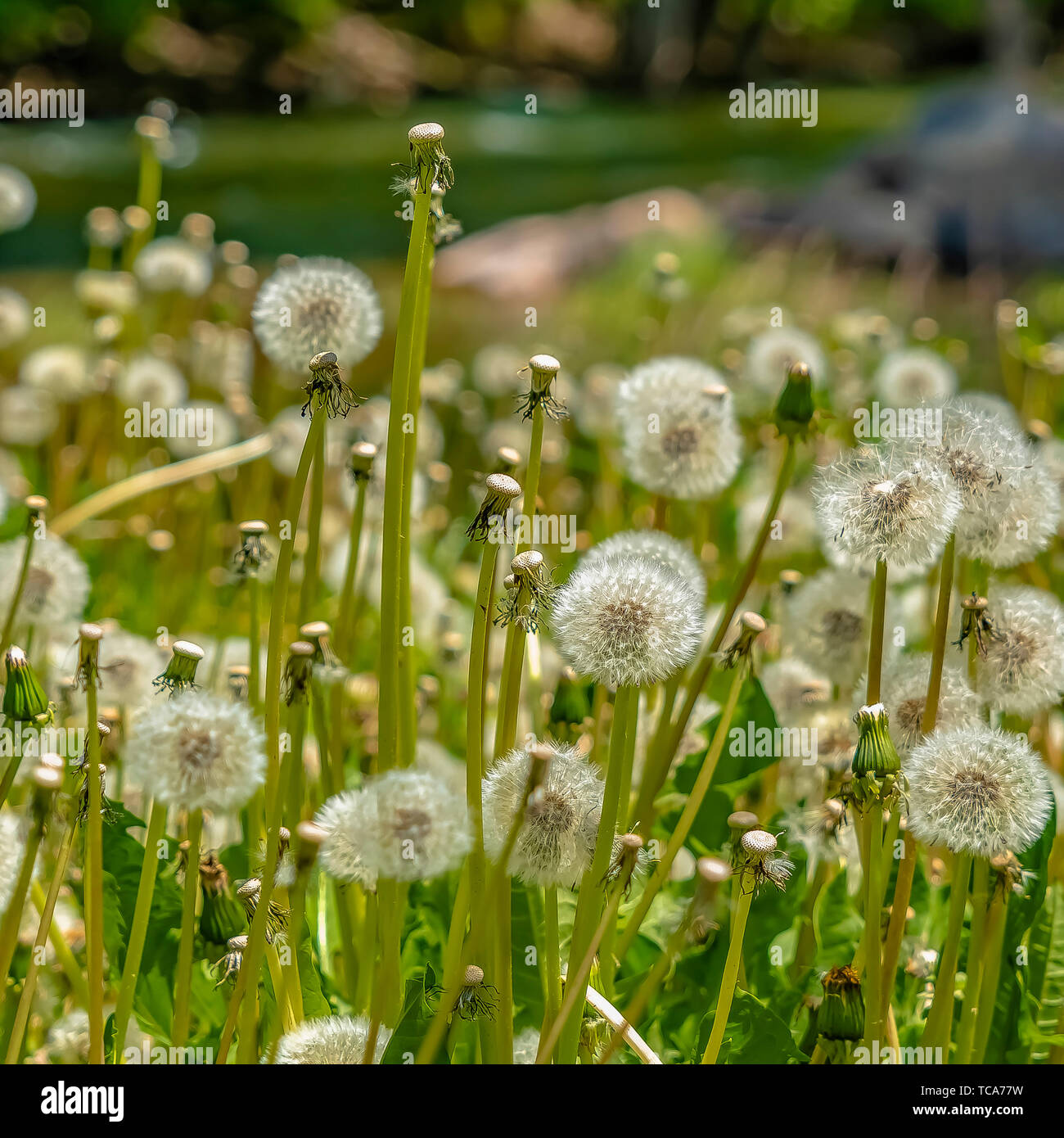 Square Close up of dandelions with white flowers and bright green stems on a sunny day - Stock Image