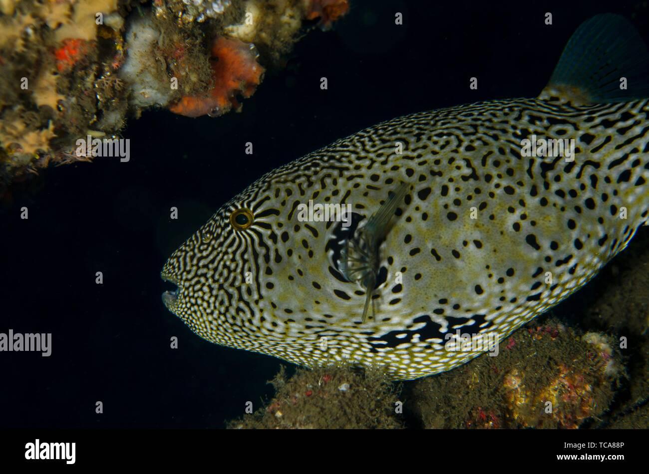 Map Puffer (Arothron mappa), Banda Neira Jetty dive site, Ambon, Maluku (Moluccas), Indonesia. - Stock Image