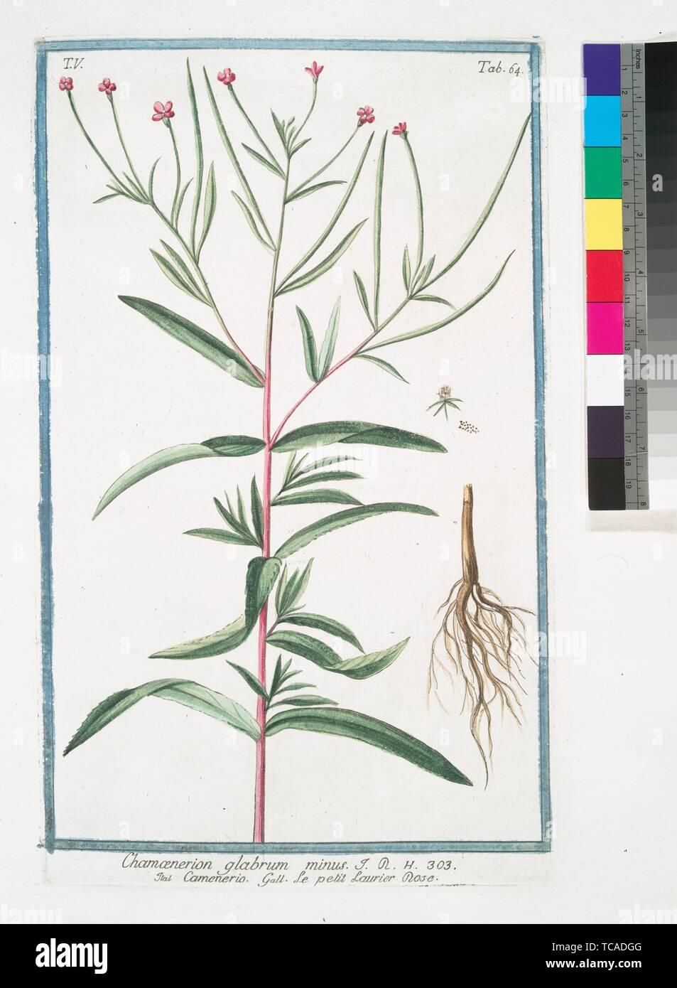 Chamaenerion glabrum minus = Camenerio = Le petit Laurier Rose. [Smooth Fireweed]. Bonelli, Giorgio (b. 1724) (Author) Martelli, Niccoló (1735-1829) Stock Photo