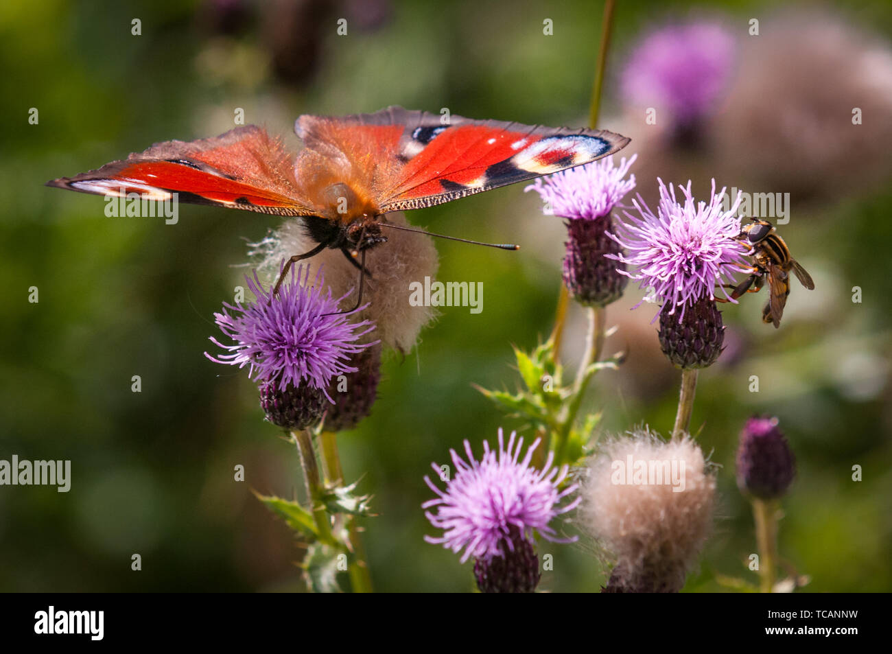 The European Peacock Butterfly (Inachis io  Subfamily:  Apaturinae) often commonly known as the Peacock butterfly, on a patch of thistles which have started to seed in late summer Stock Photo