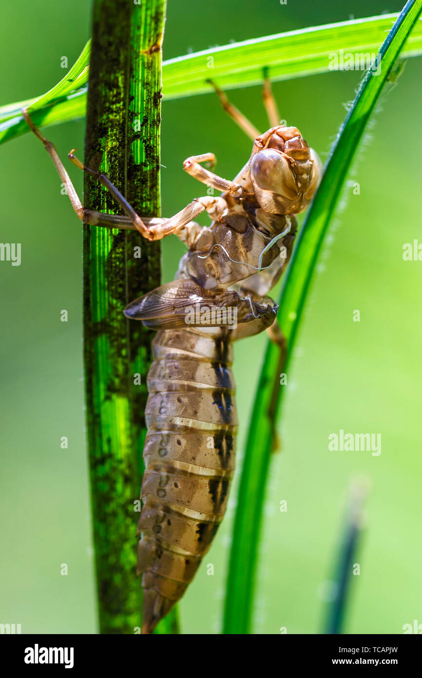 Shell of a dragonfly on a blade of grass - Stock Image