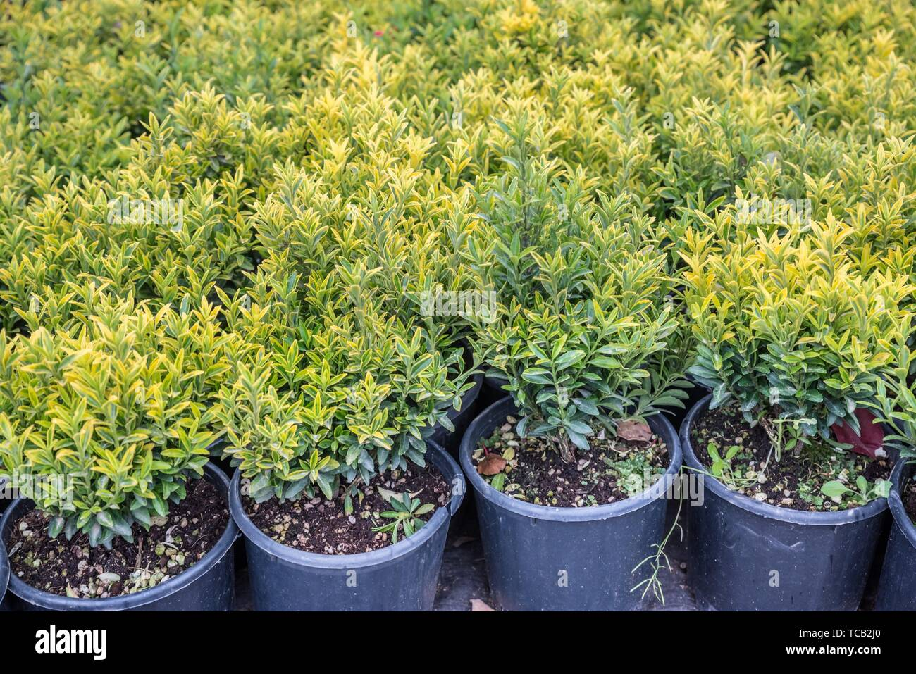 Fortune spindle (Euonymus fortunei) in garden. Detail of emerald golden leaves of winter creeper. Hedge of the Golden spindle tree. - Stock Image
