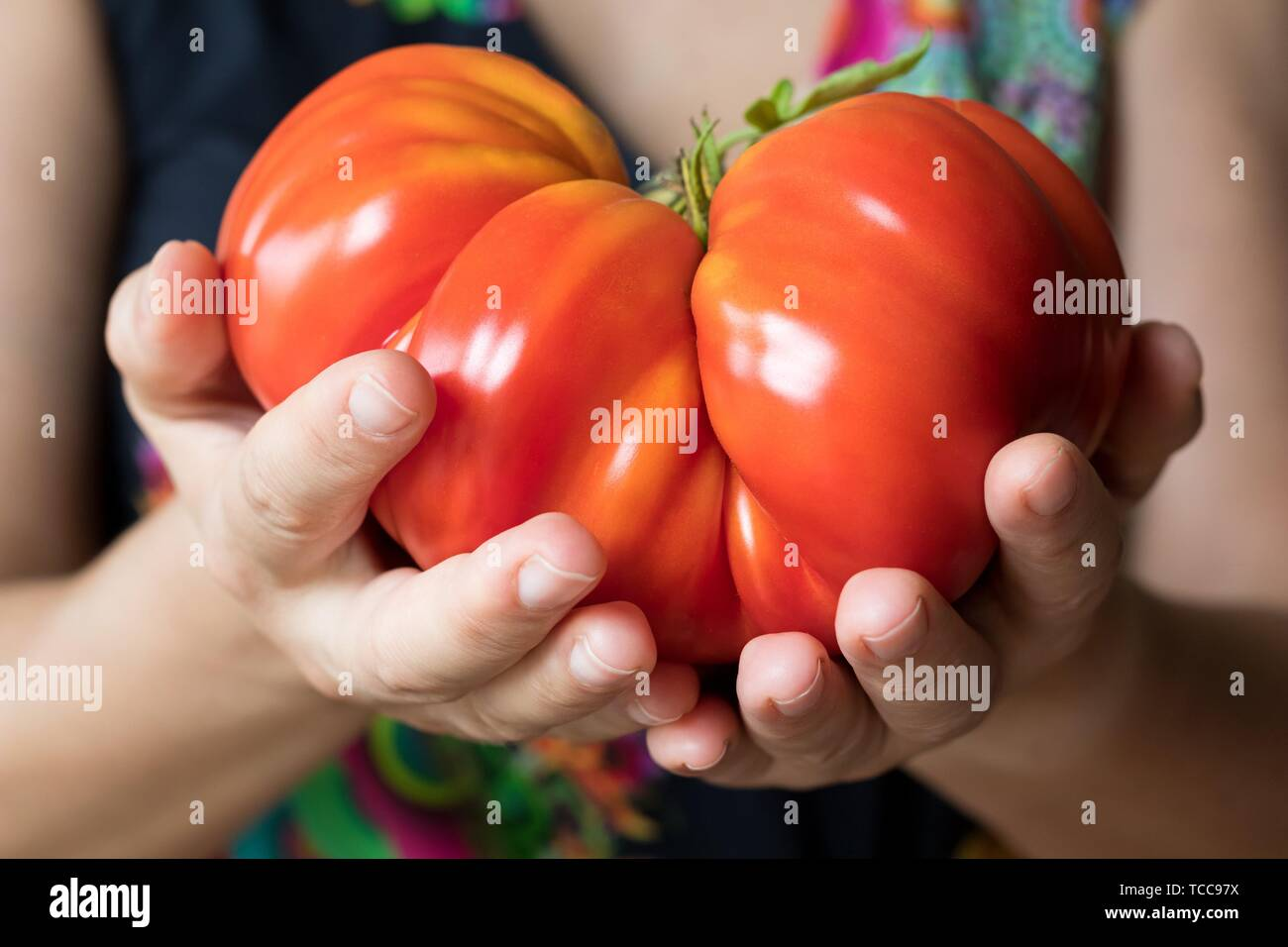 Hands holding and offering a giant Zapotec pleated heirloom tomato. - Stock Image