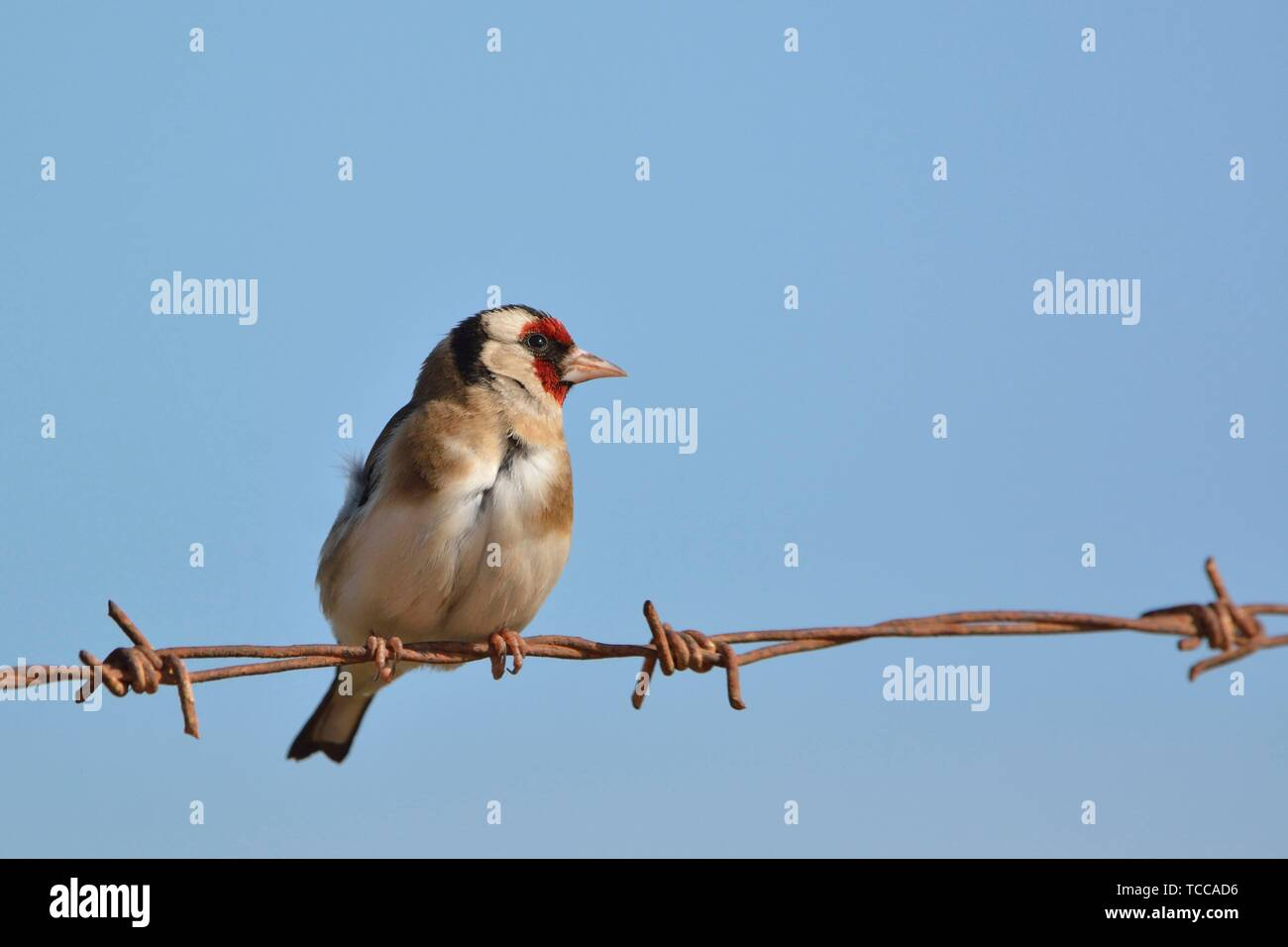 European Goldfinch (Carduelis carduelis), Greece - Stock Image