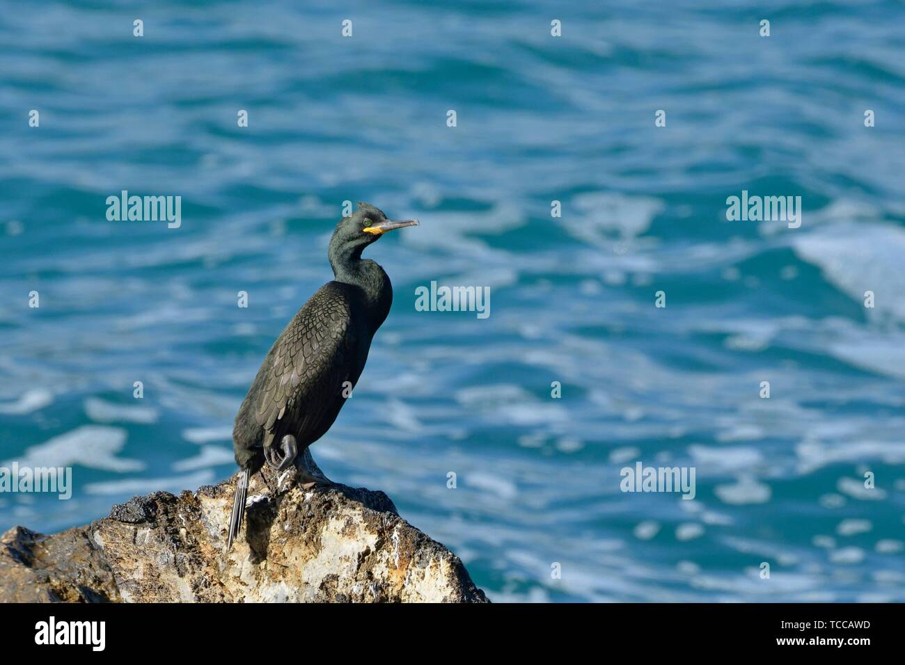 European shag or common shag (Phalacrocorax aristotelis), Crete - Stock Image