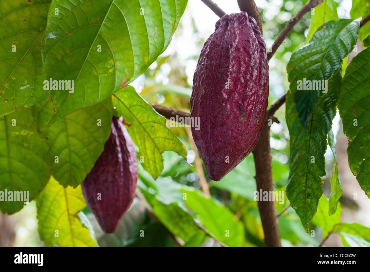 Trinitario cocoa (Theobroma cacao) pods on Sumatra, Indonesia. Stock Photo