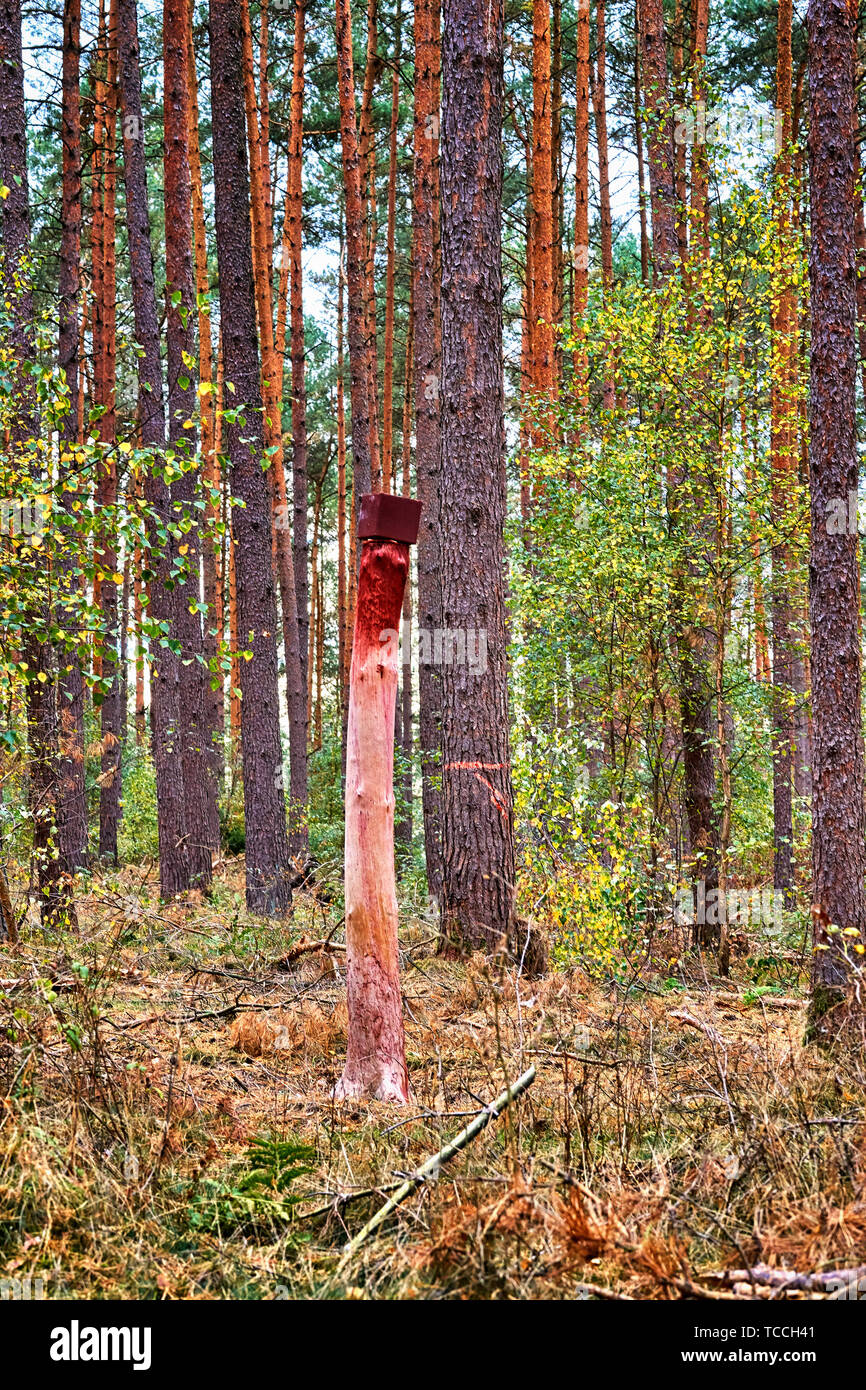 A salt stone in the forest. A lickstone for wild animals such as deer that is mounted on a tree trunk. Stock Photo