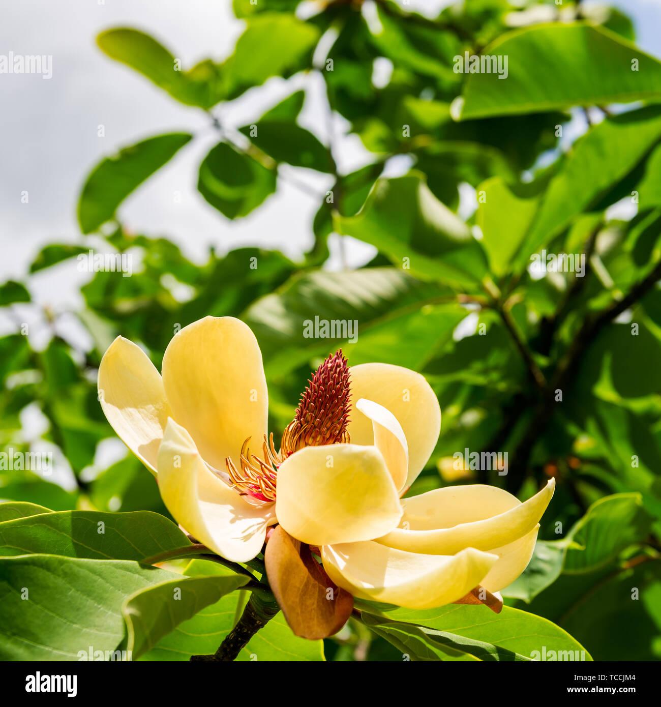 Big Magnolia In Beautiful English Garden In Summer England Uk