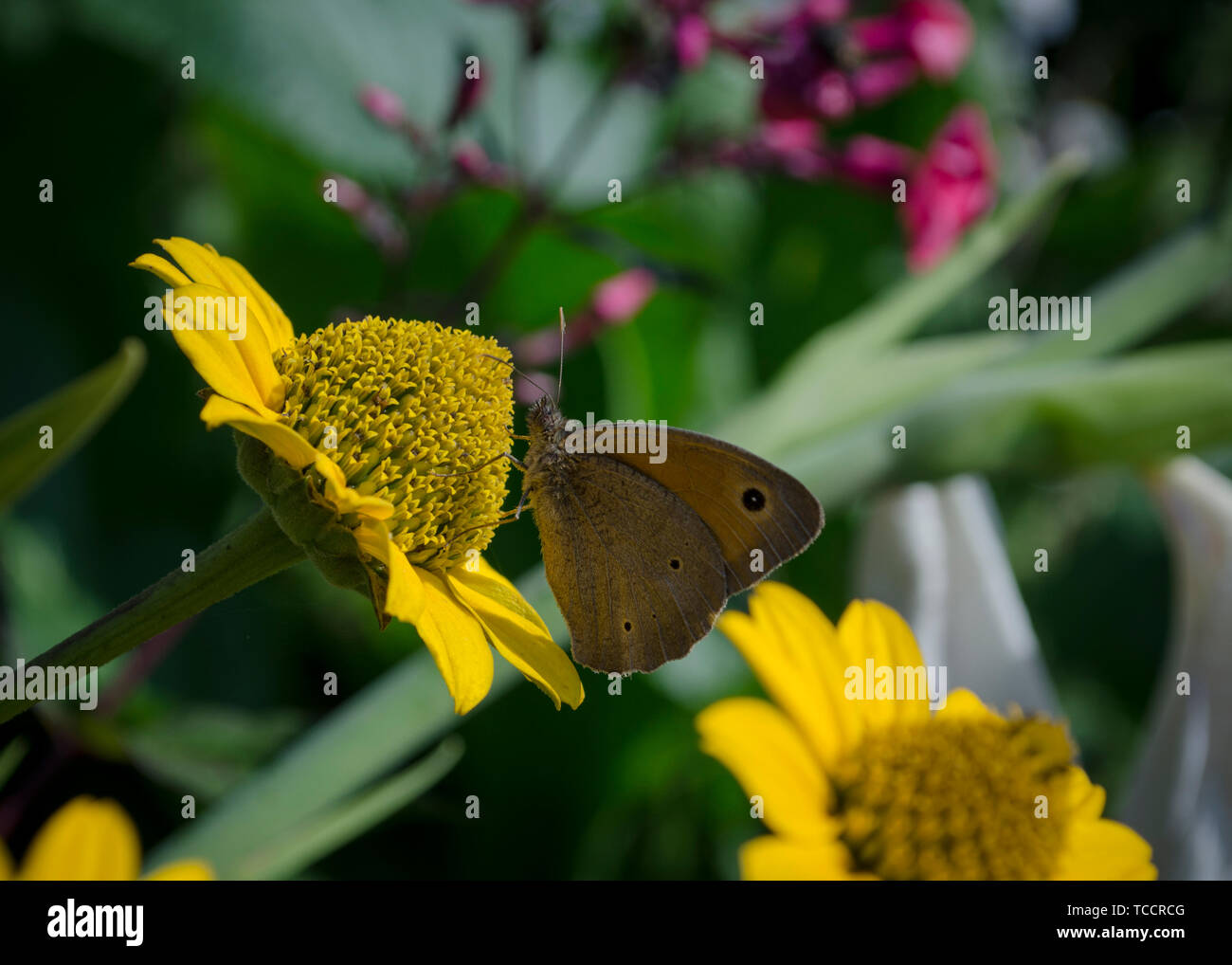 Aphantopus hyperantus butterfly sitting on the yellow flowers of sunflower aster family, Chrysopsis known as golden asters or Heterotheca villosa - Stock Image
