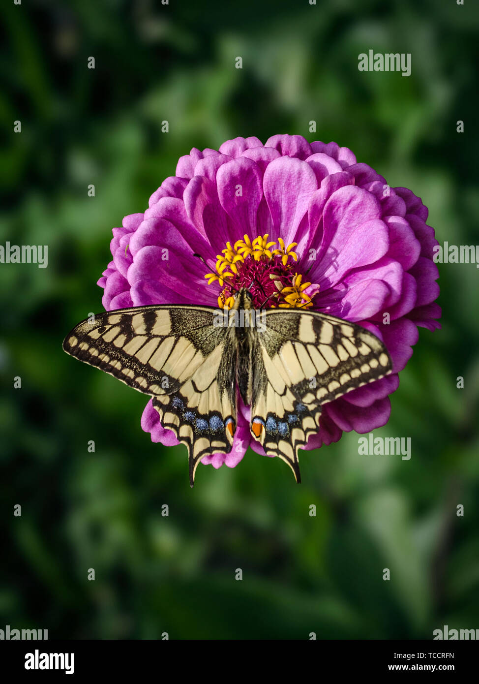 A large machaon butterfly sits on an magenta Zinnia flower. Papilio machaon, the Old World swallowtail, is a butterfly of the family Papilionidae. The - Stock Image
