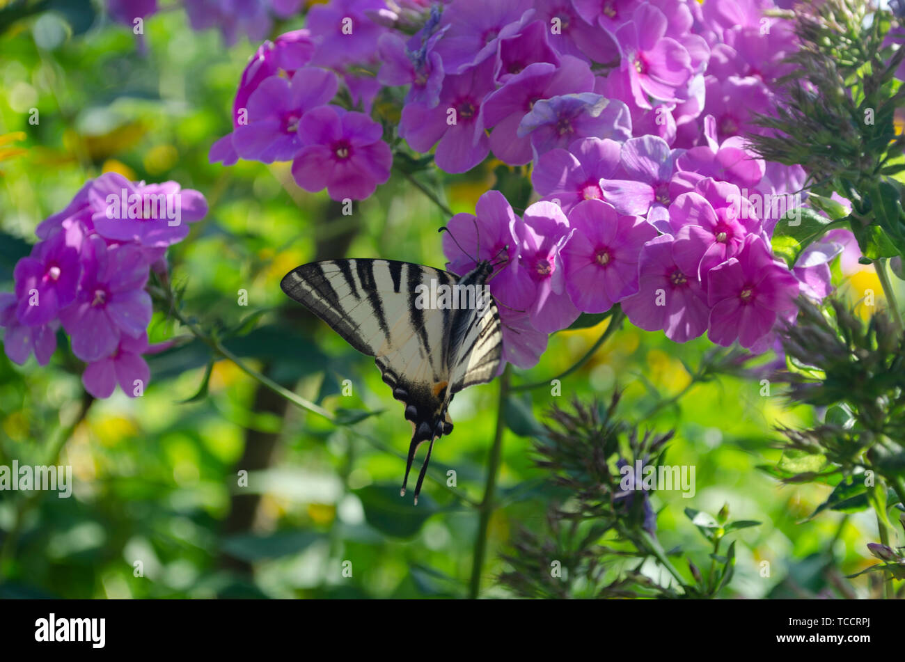 White butterfly with stripes sitting on the purple Phlox flowers. The scarce swallowtail, Iphiclides podalirius is a butterfly, family Papilionidae - Stock Image