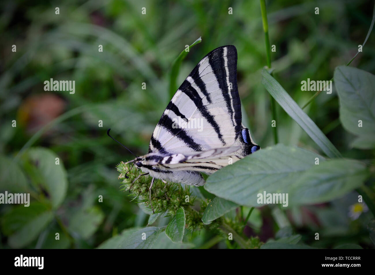 White striped butterfly sitting on the green grass. The scarce swallowtail, Iphiclides podalirius is a butterfly, family Papilionidae. Also called the - Stock Image