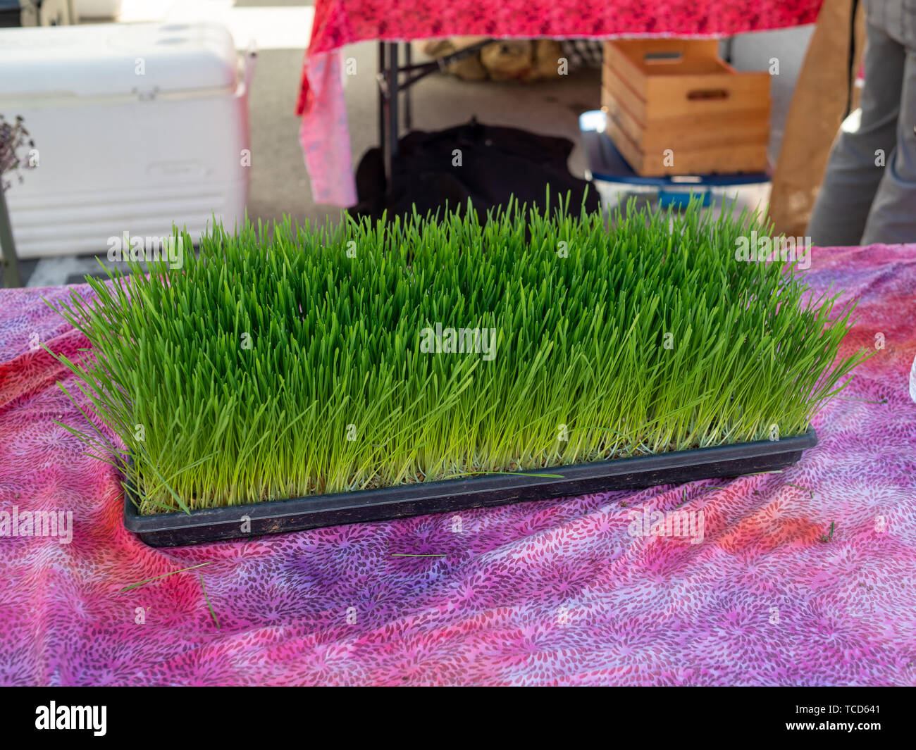 Fresh wheatgrass herbs on display for purchase at outdoor farmers market - Stock Image