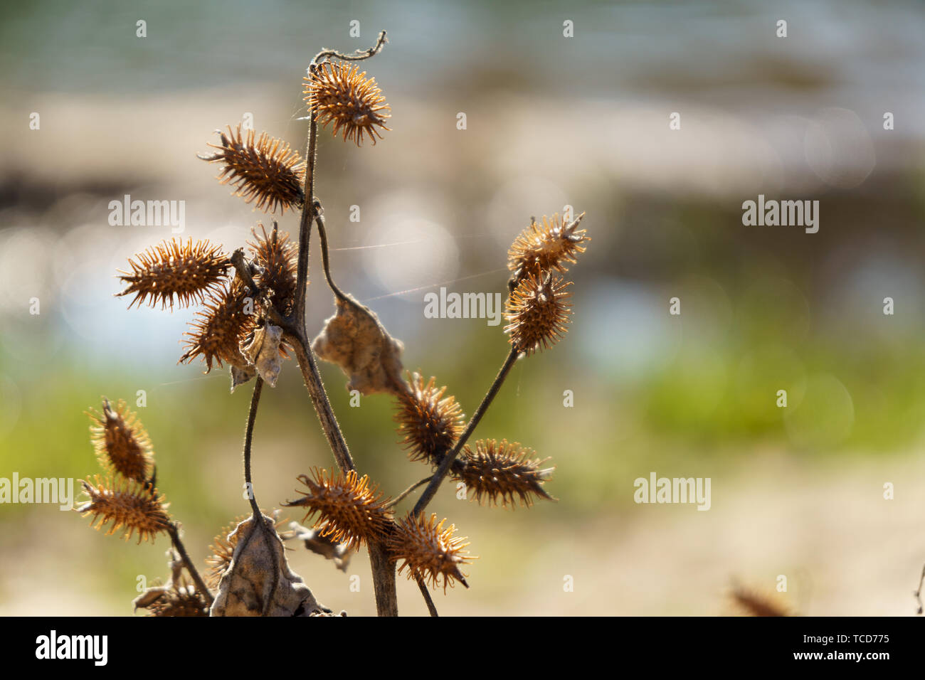 Cocklebur Stock Photos & Cocklebur Stock Images - Alamy