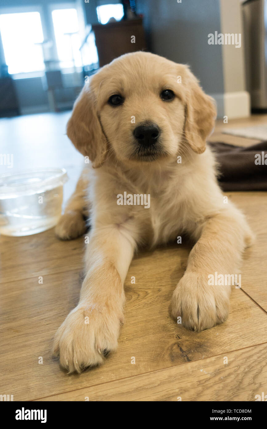 Lovely Puppy Of Golden Retriever Lying On Light Brown Parquet And Looking At Camera With Blanket And Bowl Of Water Laid Near Stock Photo Alamy