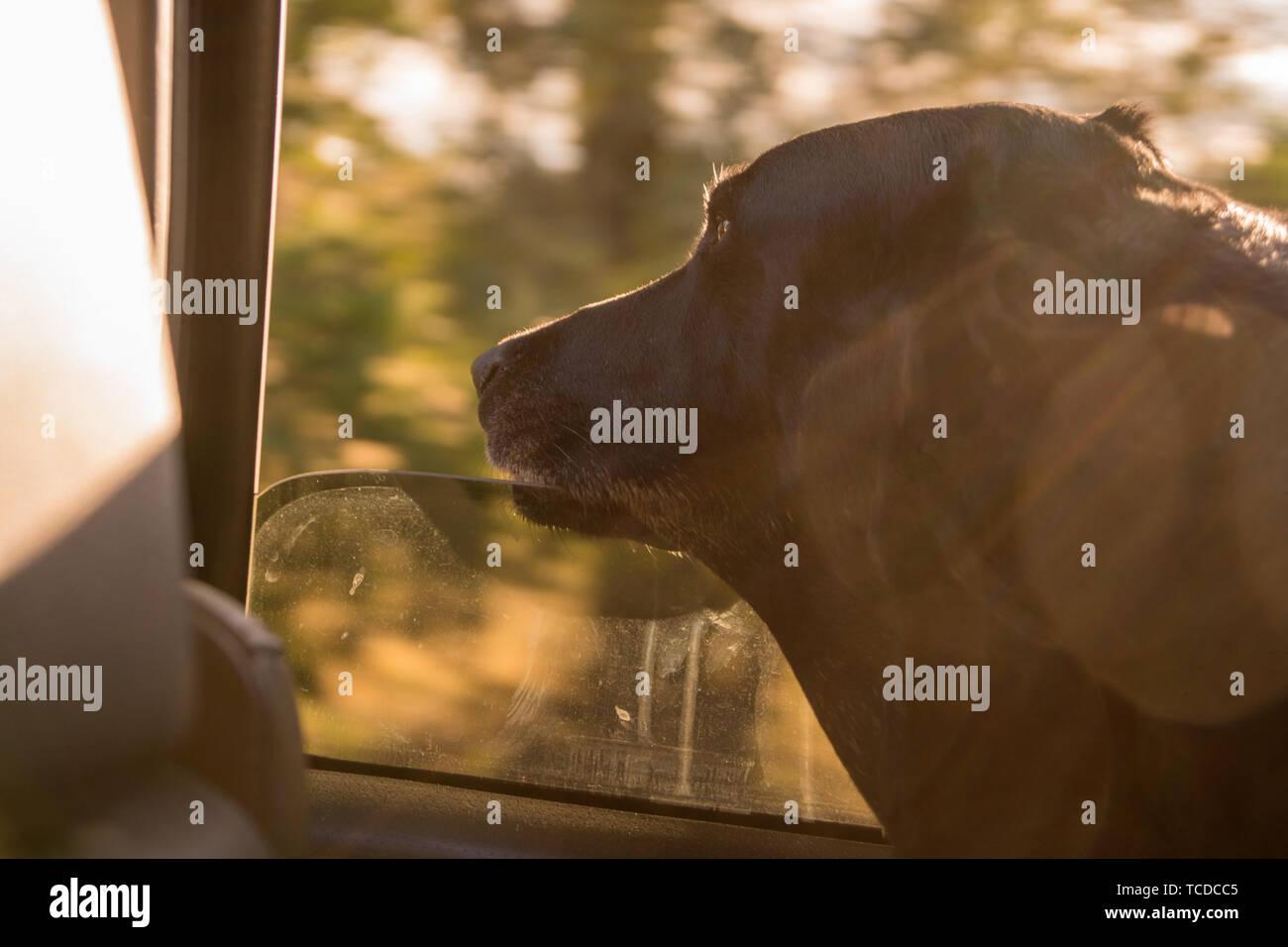 Black Labrador retriever dog with head out of car window. - Stock Image