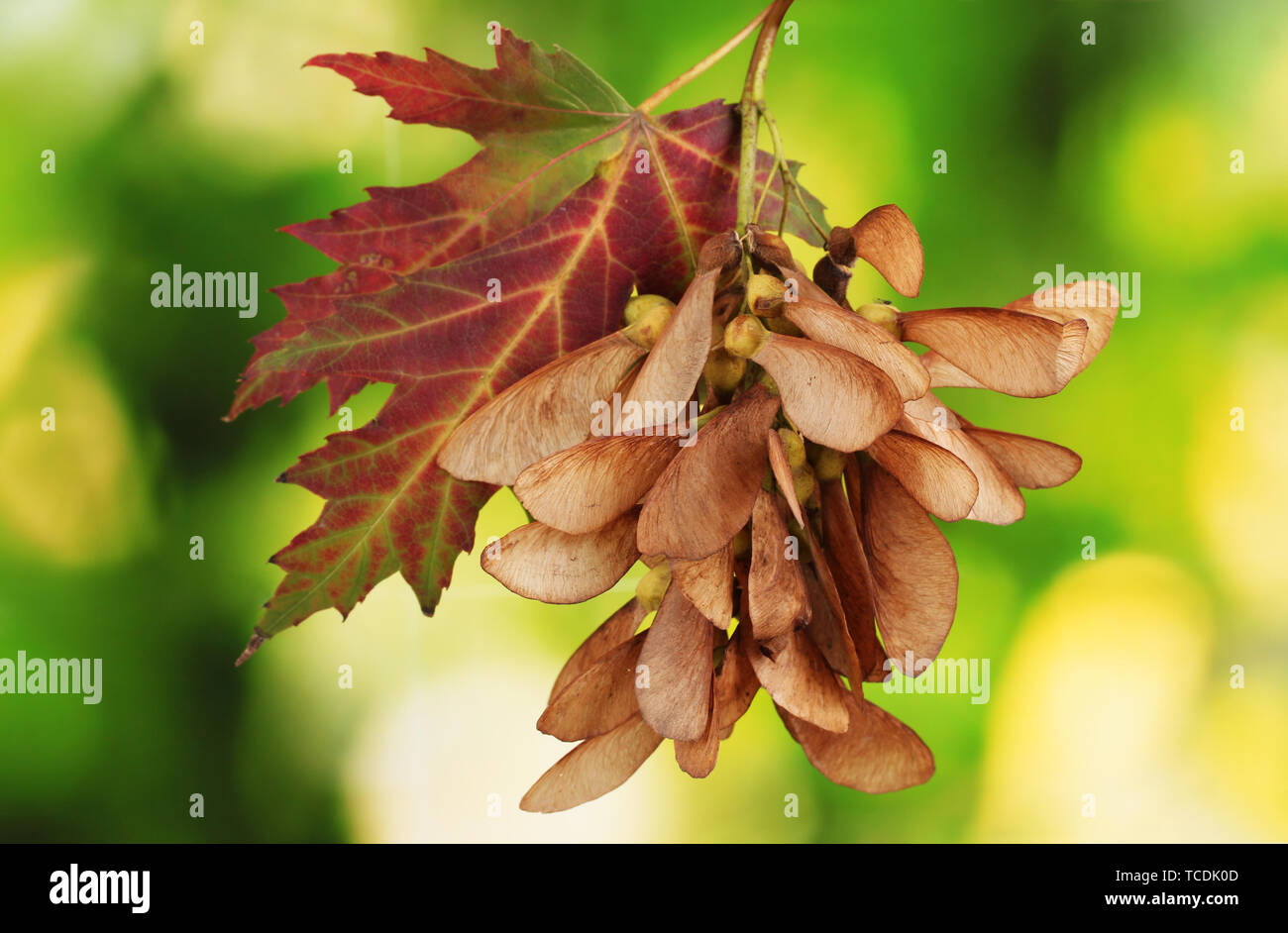maple seed and autumn leaf on green background Stock Photo