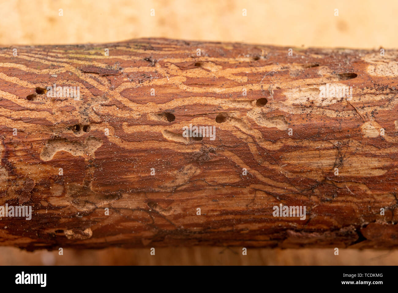 Traced bark beetles on coniferous tree branches. Places of living of forest pests. Pine tree wood. - Stock Image
