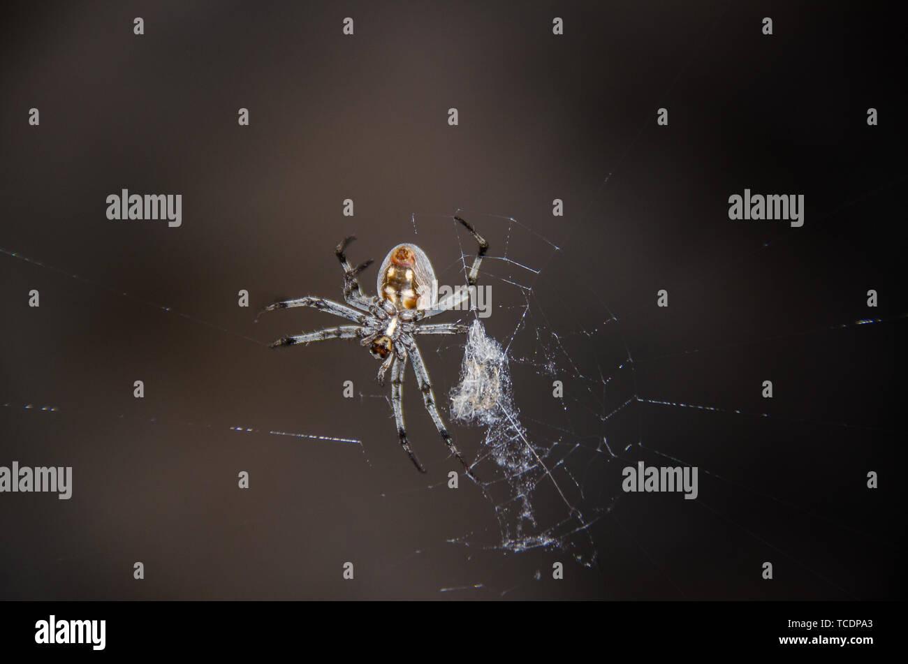 grey spider weaving web - Stock Image