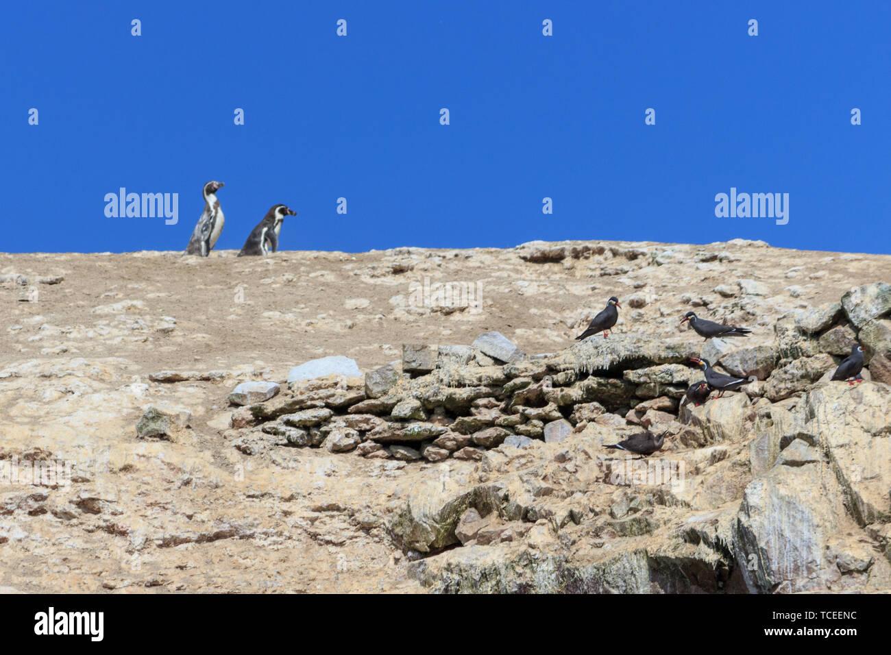 two Humboldt Penguin on the islas ballestas, peru - Stock Image