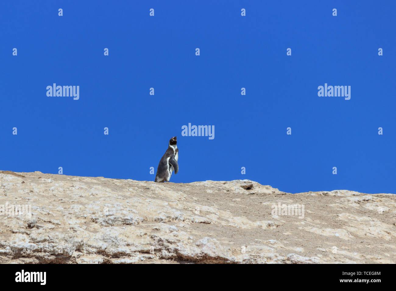 solitary Humboldt Penguin on the islas ballestas, peru - Stock Image
