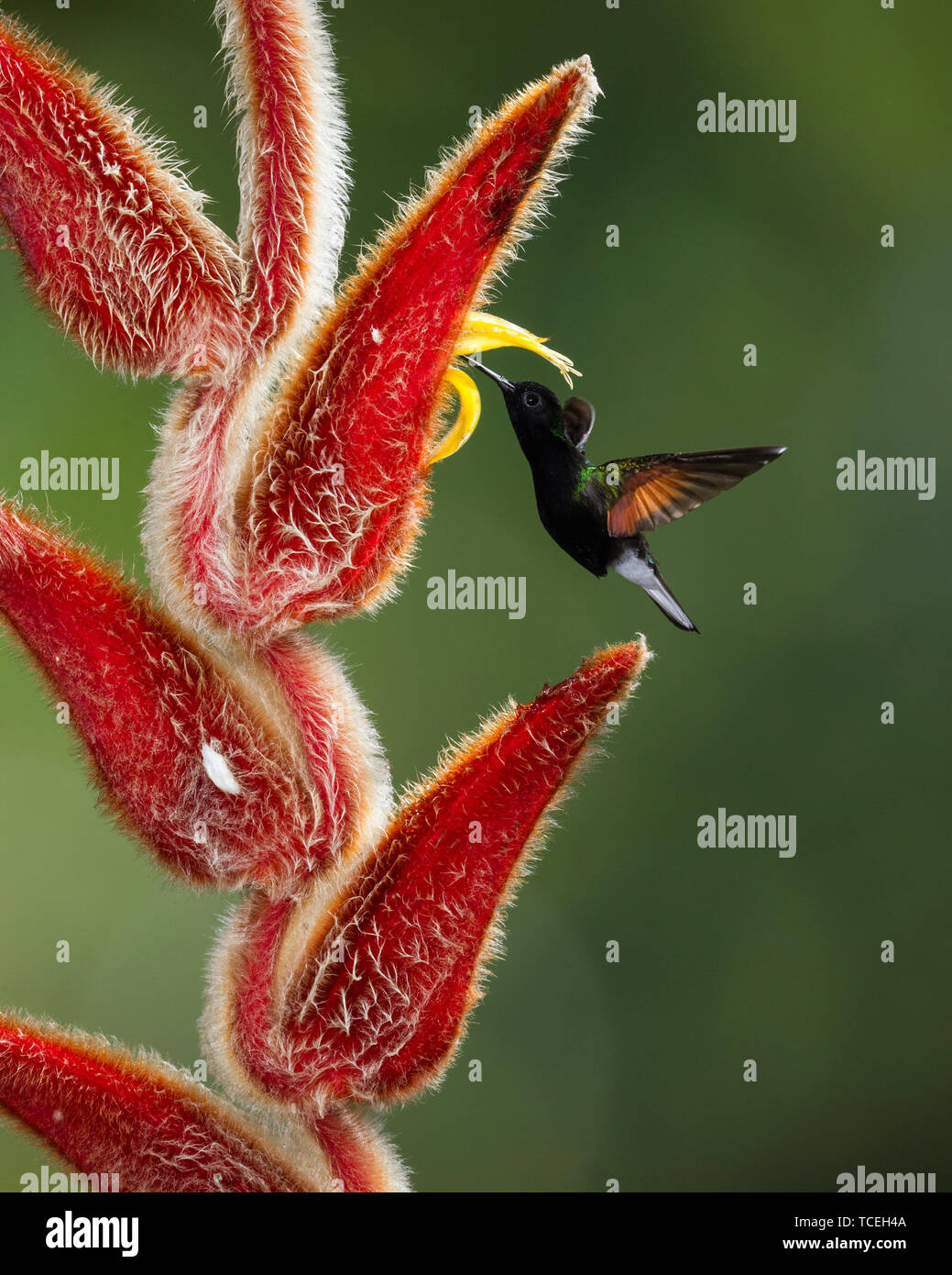 A Black-bellied Hummingbird - Euperusa nigriventris - approaches the tropical flower of a Hairy Heliconia, Heliconia vellerigera, to feed, and in the  - Stock Image