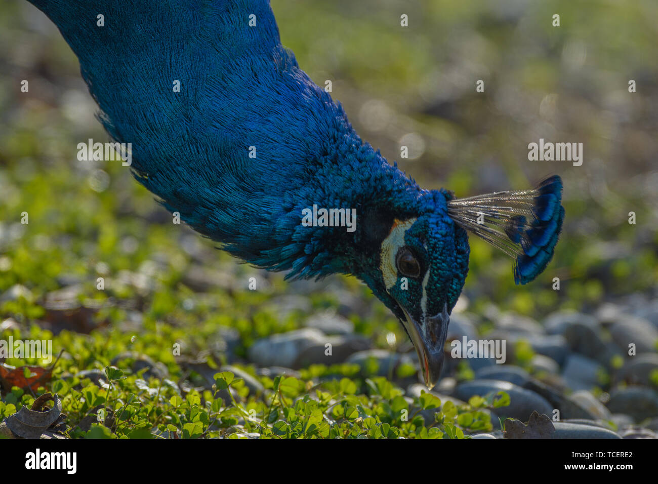 Side view of peafowl's head picking eating on ground in sunny day Stock Photo