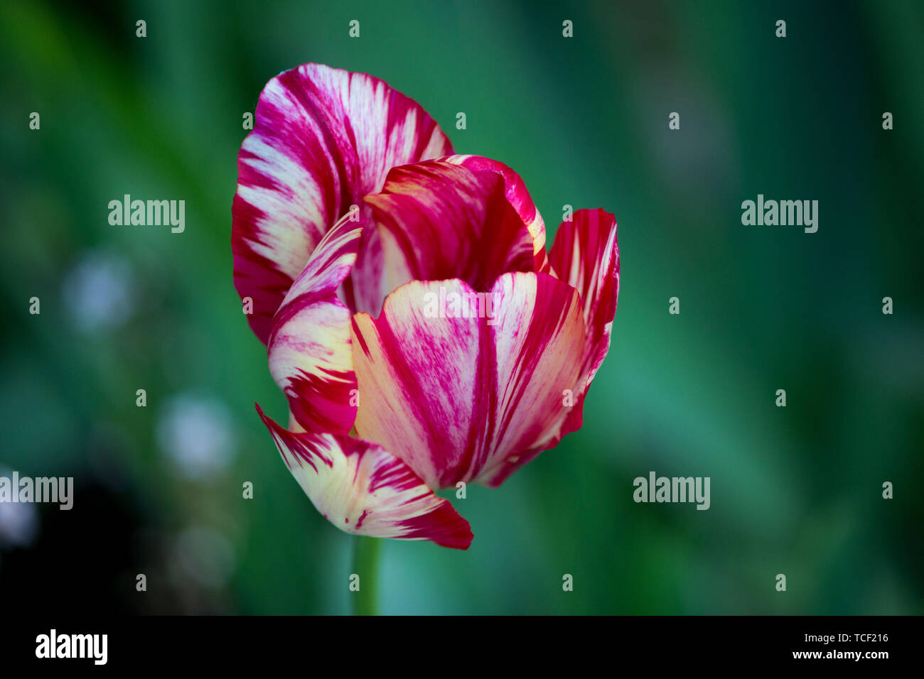 one blooming motley bright pink tulip with white veins on a flower bed Stock Photo
