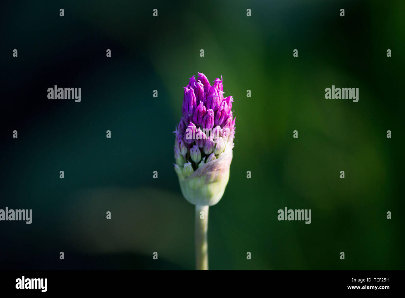 Purple flowers on a green background. Bud of decorative onion. Stock Photo
