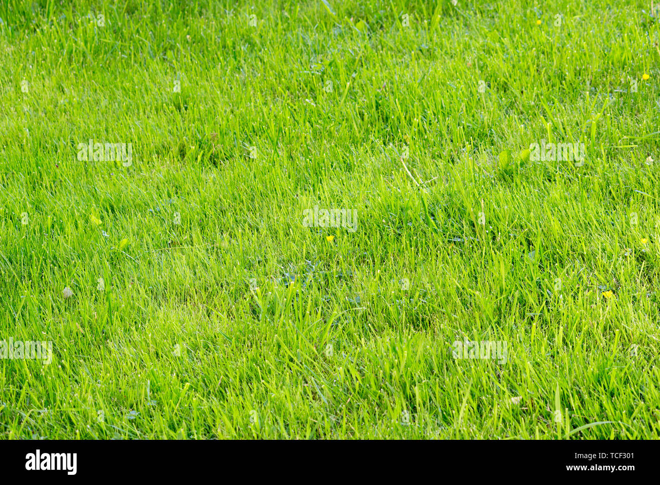 small yellow flower buttercup in the middle of a field of green grass after mowing the lawn. Gatchina, Russia Stock Photo