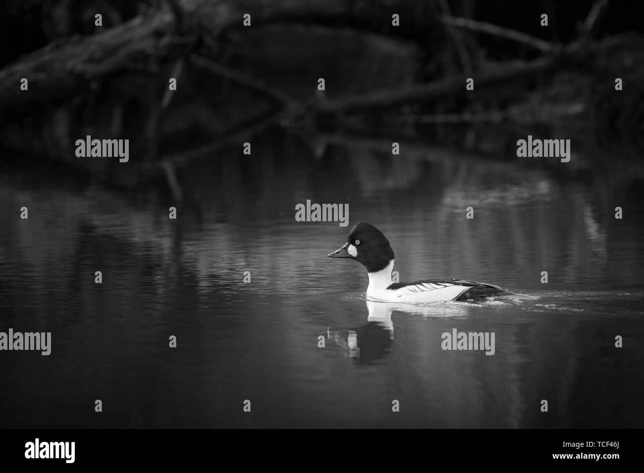 Side view of murk pewit floating on lake on blurred background near coast in black and white - Stock Image