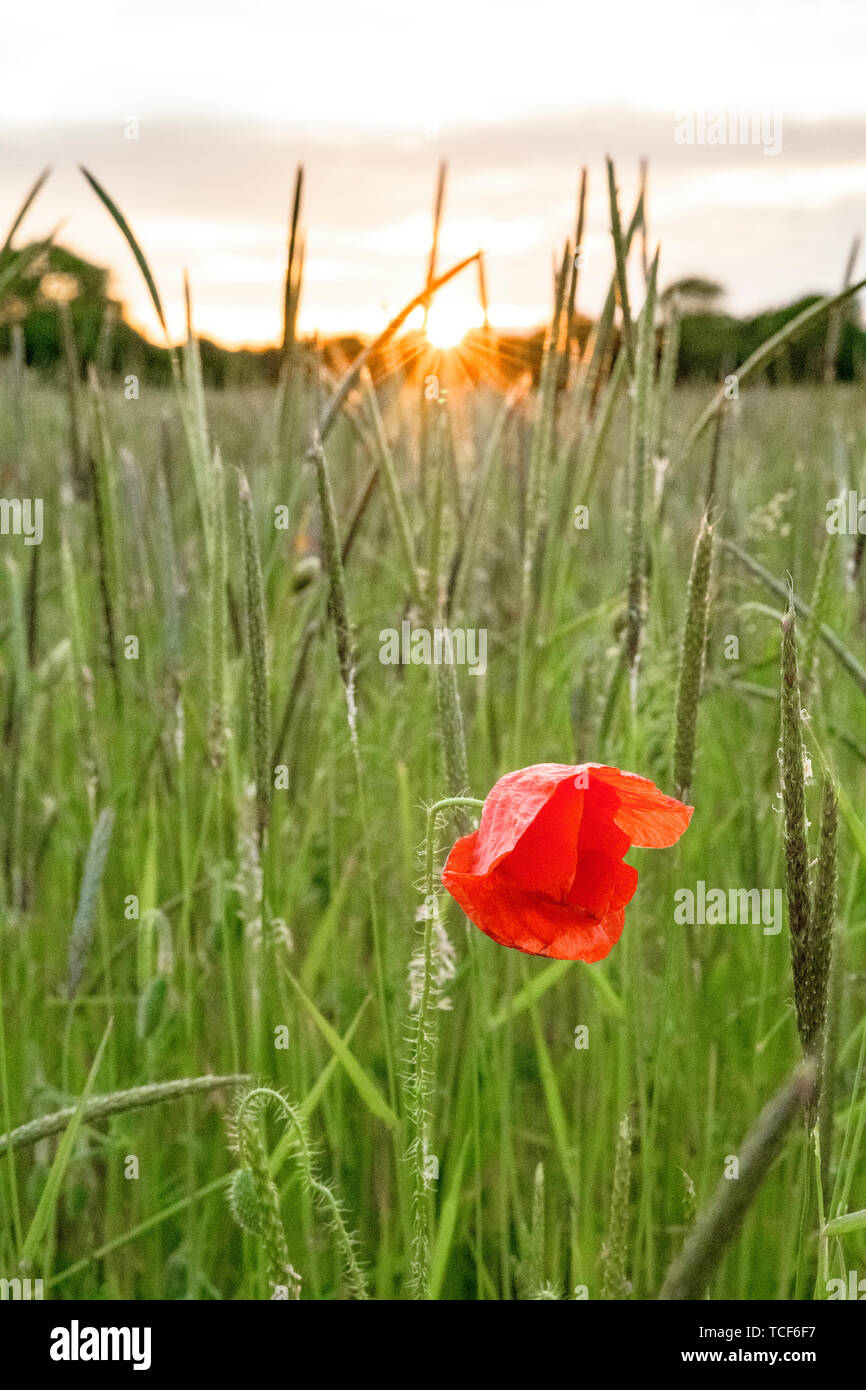 A red poppy growing in a wild grass meadow. Sunset background with sun rays bursting through trees/grass. The red poppy is a symbol of remembrance. Stock Photo