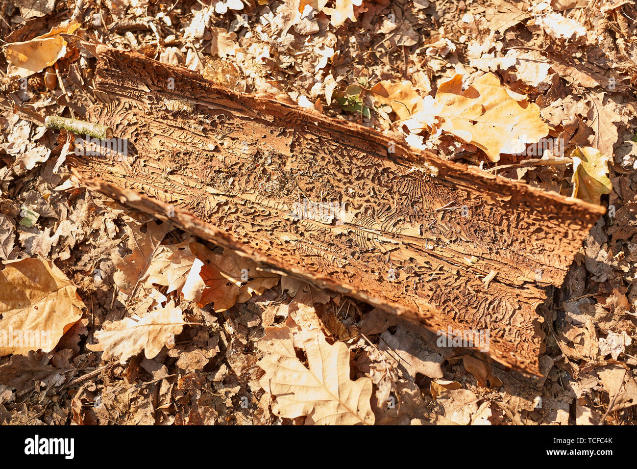 Tree bark with bark beetle Infestation on autumn leaves in pest control - Stock Image