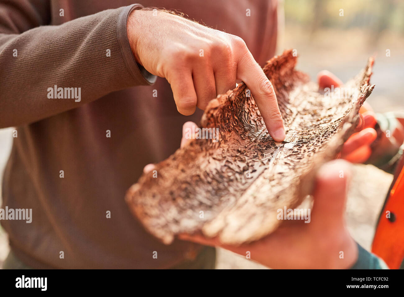Forester points to tree bark with bark beetle infestation in pest control - Stock Image