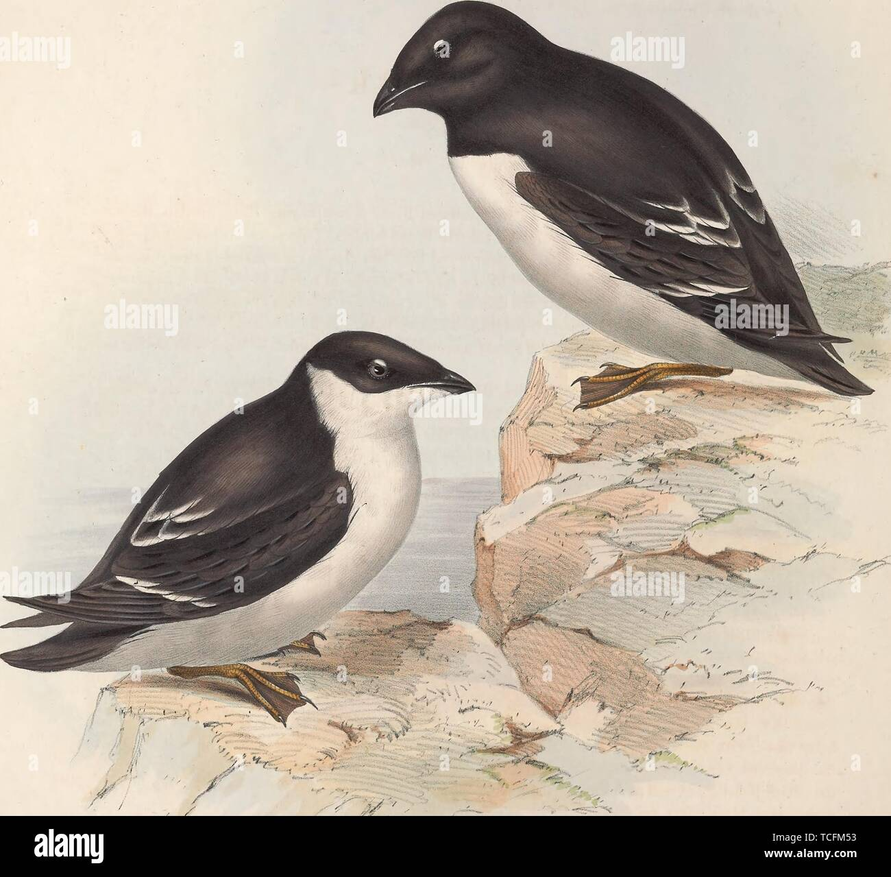 Engraved drawing of the Little Auks (Alle alle), found on islands in the high Arctic, 1837. Courtesy Internet Archive. () - Stock Image