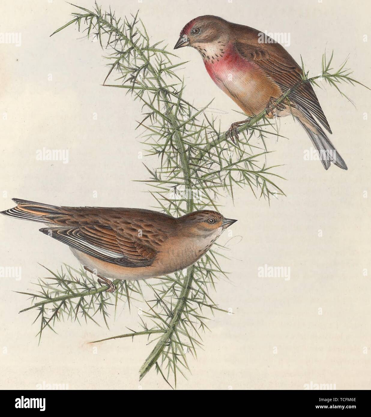 Engraved drawing of the Common Linnets (Linaria cannabina), from the book 'The birds of Europe' by John Gould, 1837. Courtesy Internet Archive. () - Stock Image