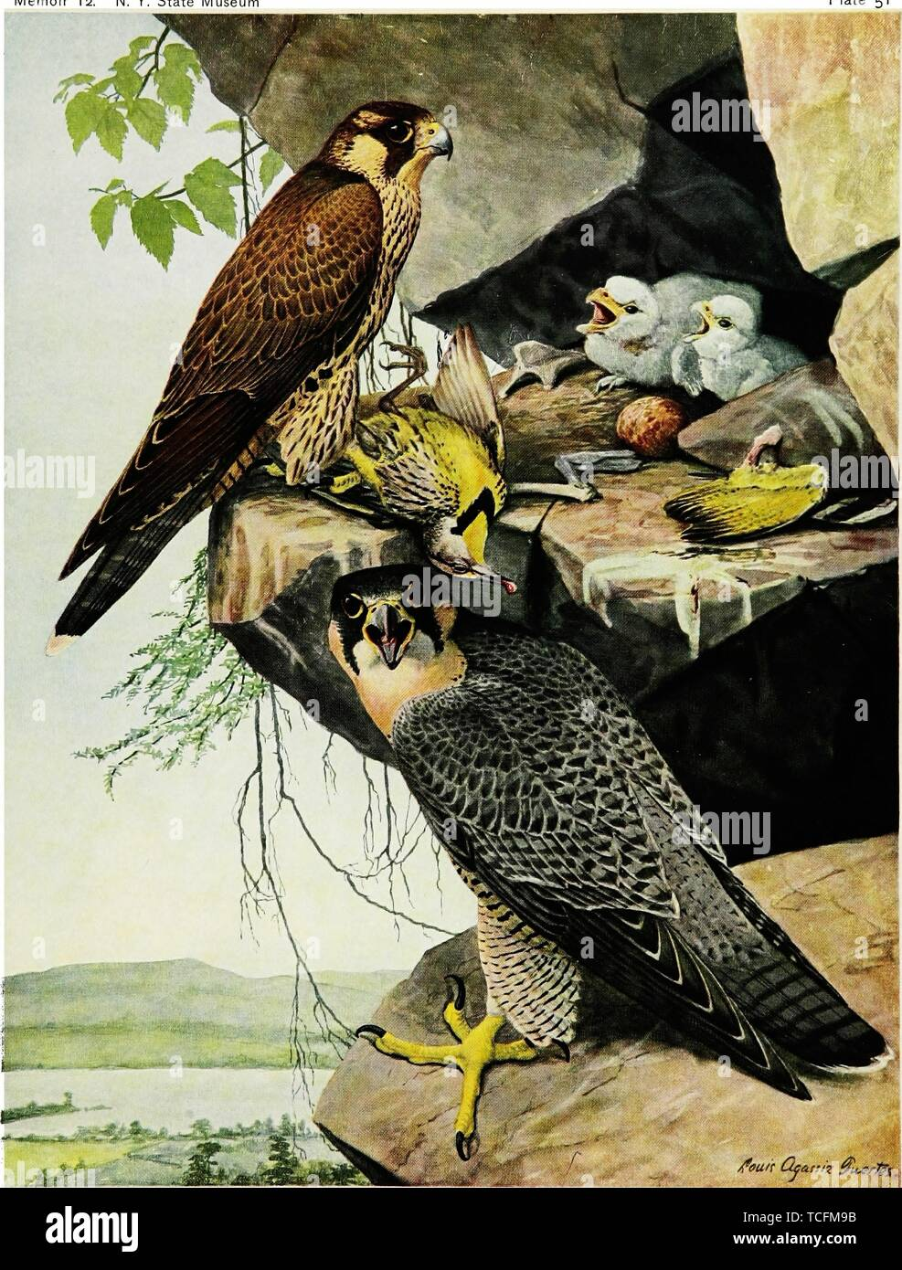 Engraved drawing of the Gyrfalcons (Falco rusticolus), from the book 'Birds of New York' by Elon Howard Eaton, 1914. Courtesy Internet Archive. () - Stock Image