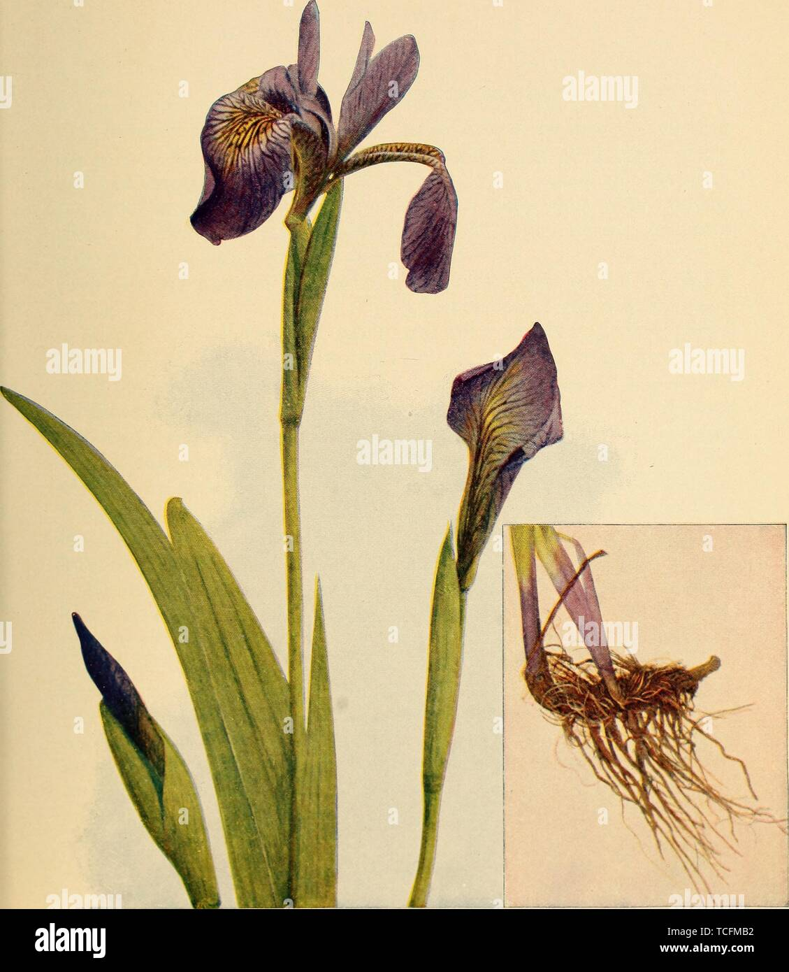 Engraved drawing of the Blue Iris (Iris Versicolor), from the book 'Birds and Nature' by A. W, 1900. Mumford. Courtesy Internet Archive. () - Stock Image