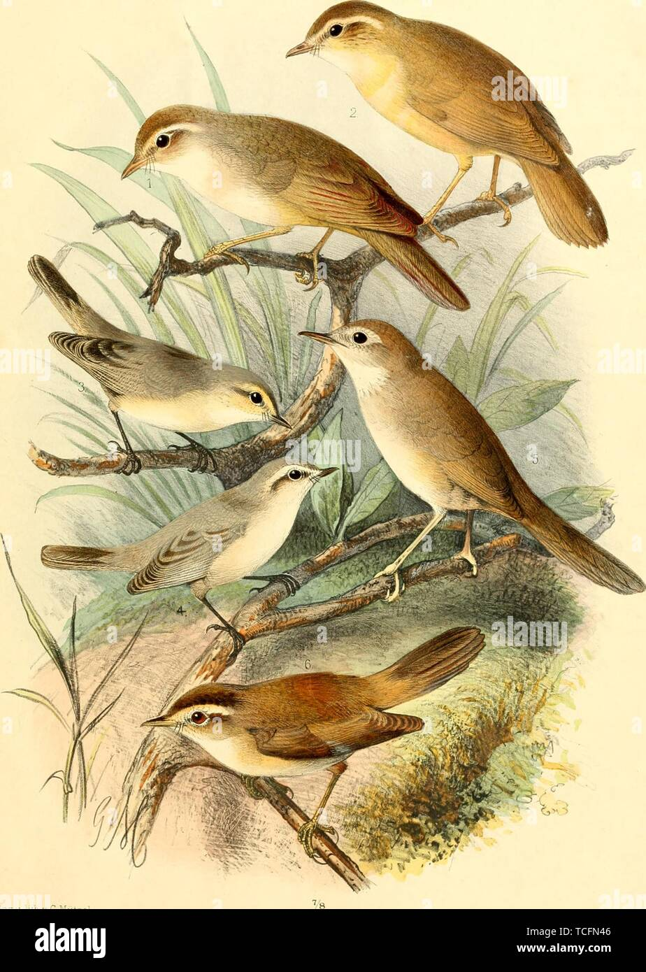 Engraved drawings of the Warblers, Radde's Warbler (Phylloscopus schwarzi), Plain Leaf Warbler (Phylloscopus neglectus), Brown Bush Warbler (Locustella luteoventris), and Black-browed Reed Warbler (Acrocephalus bistrigiceps), from the book 'Ornithographia Rossica' by Feodor Dmitrievich Pleske, 1825. Courtesy Internet Archive. () Stock Photo