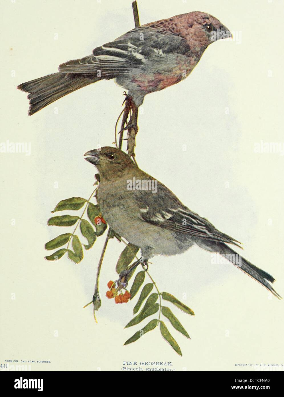 Engraved drawing of the Pine Grosbeaks (Pinicola enucleator), from the book 'Birds and nature' by William Kerr Higley, 1900. Courtesy Internet Archive. () - Stock Image