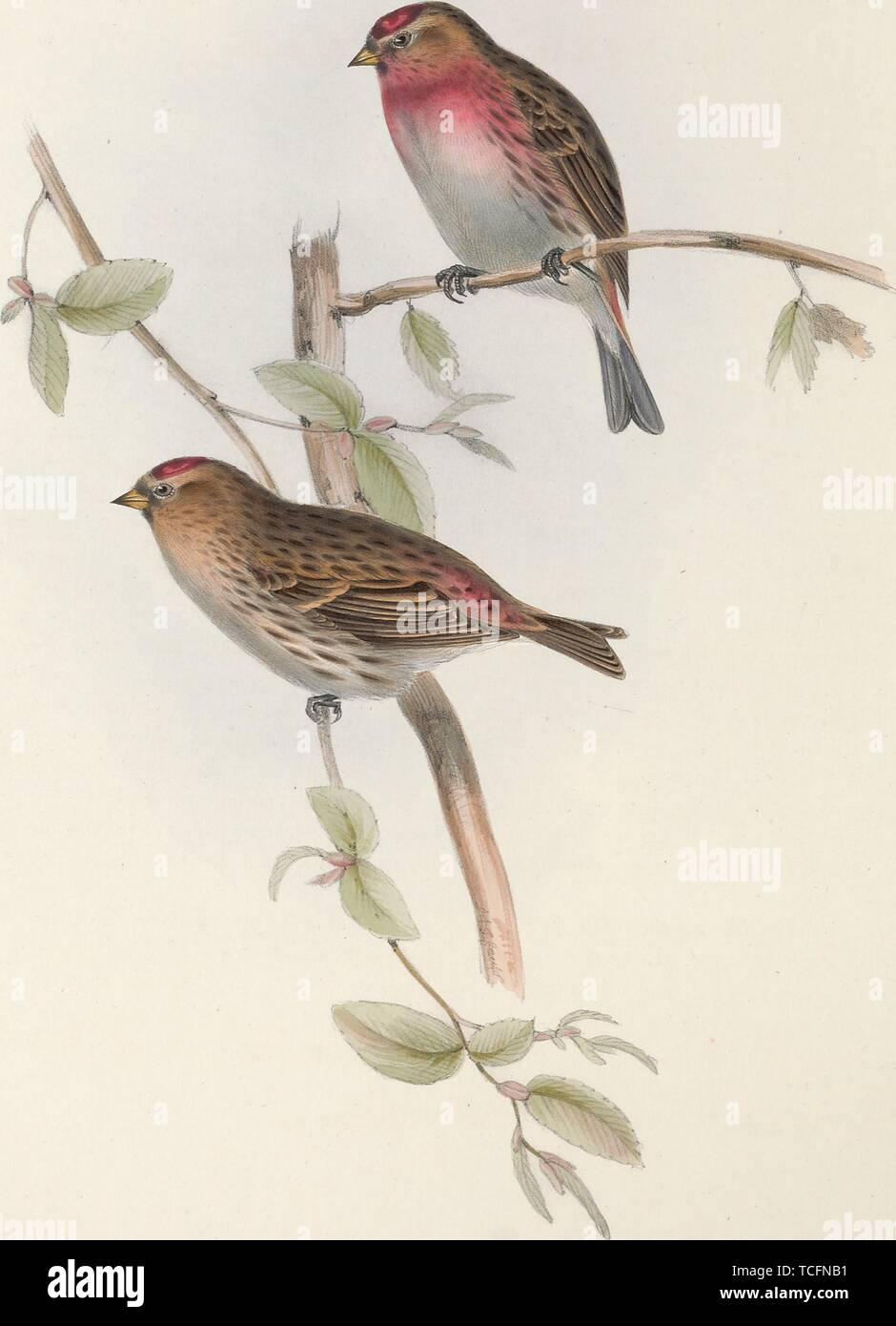 Engraved drawing of the Lesser Redpolls (Acanthis cabaret), from the book 'The birds of Europe' by John Gould, 1837. Courtesy Internet Archive. () - Stock Image