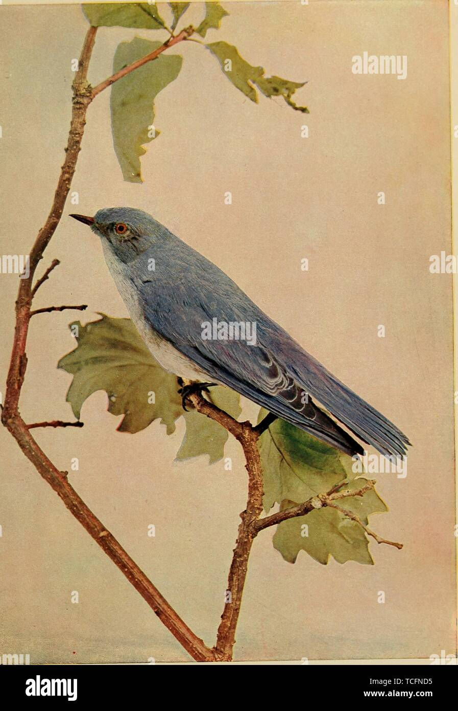 Engraved drawing of the Mountain Bluebird (Sialia currucoides), from the book 'Birds and nature' by William Kerr Higley, 1900. Courtesy Internet Archive. () - Stock Image