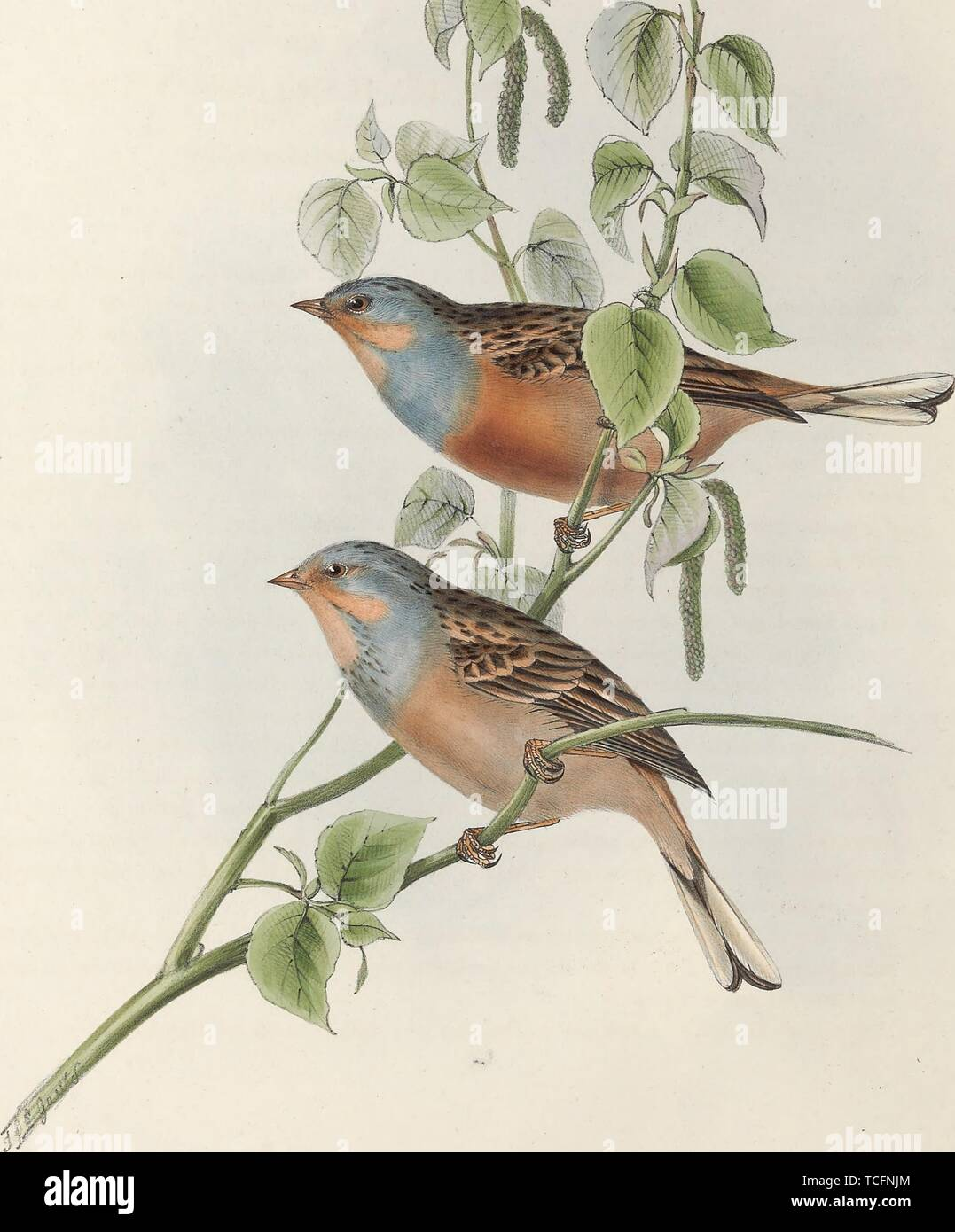 Engraved drawing of the Cretzschmar's Buntings (Emberiza caesia), from the book 'The birds of Europe' by John Gould, 1837. Courtesy Internet Archive. () - Stock Image