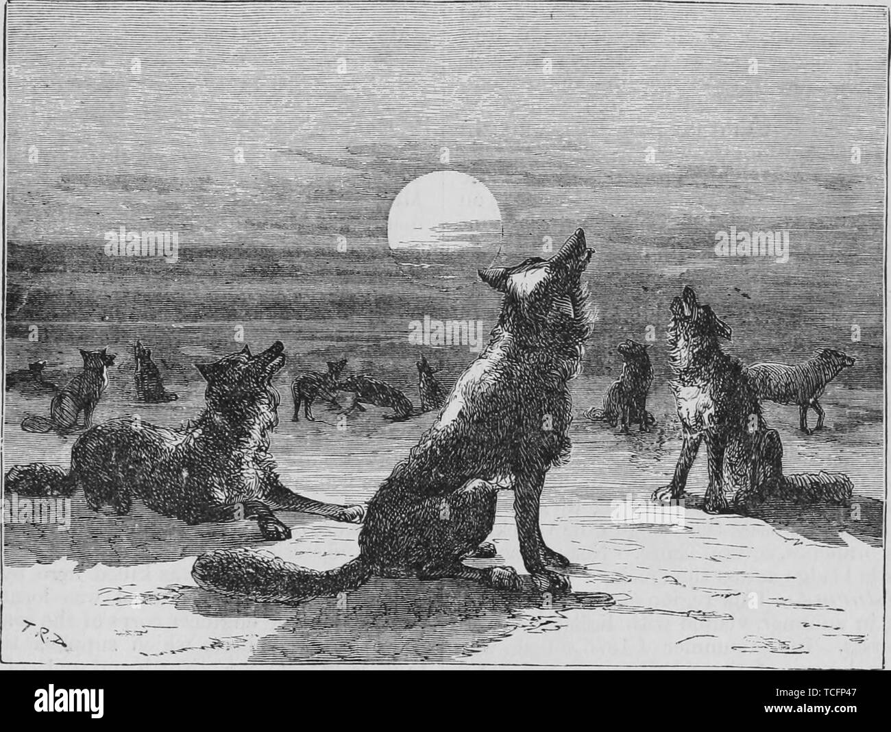 Engraving of the coyote pack howling at the Moon, from the book 'The Pacific tourist' by Henry T. Williams, 1878. Courtesy Internet Archive. () - Stock Image