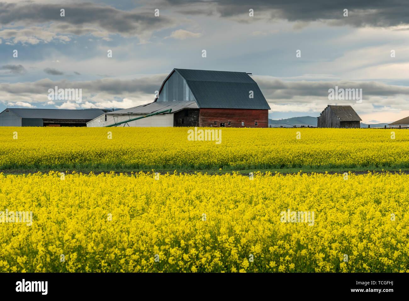 A blooming canola field near Grangeville, Idaho, USA, America. - Stock Image