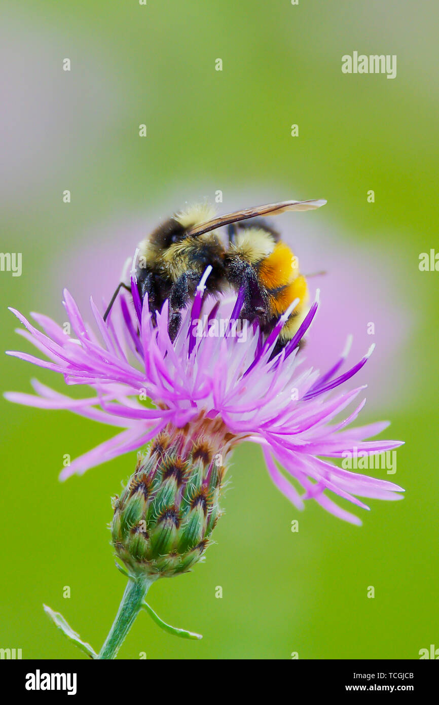Tricolored bumble bee on purple flower at the Crex Meadows Wildlife Area in Wisconsin Stock Photo