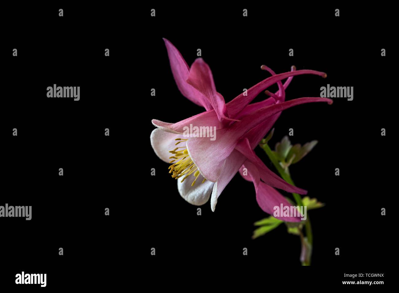 Aquilegia Spring Magic Rose and White,spring magic series,Ranunculaceae,low key life science, black background Stock Photo
